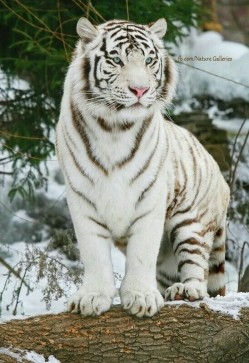Tigre 22